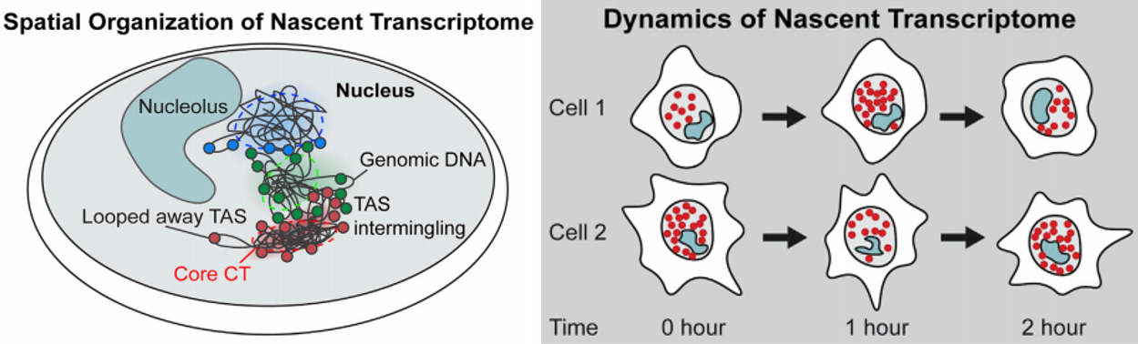 Dynamics and Spatial Genomics of the Nascent Transcriptome by Intron seqFISH