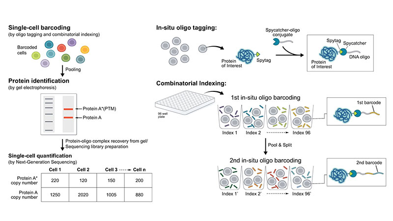 New Publication: Detecting Proteins In Situ with DUET