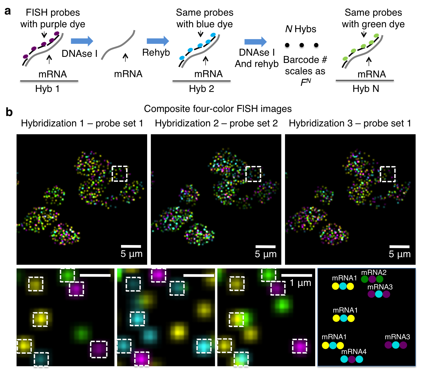 Single-cell in situ RNA profiling by sequential hybridization