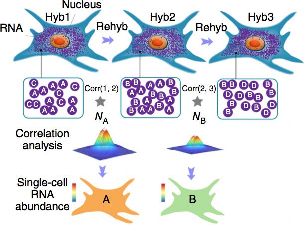 Dense transcript profiling in single cells by image correlation decoding