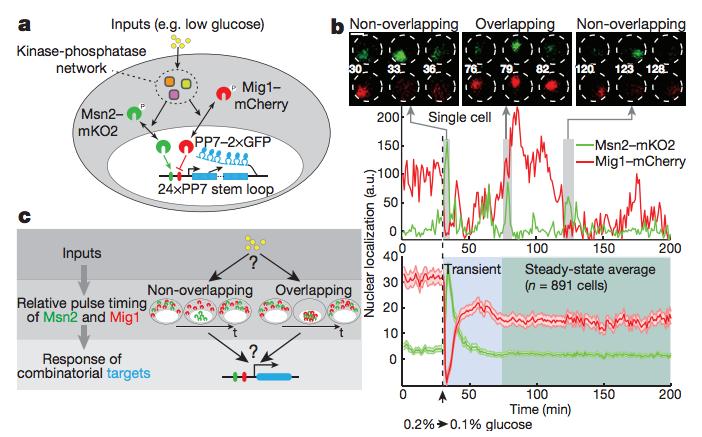Combinatorial gene regulation by modulation of relative pulse timing