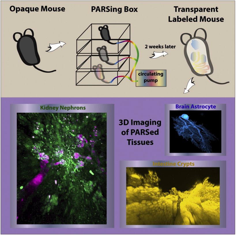 Single-cell phenotyping within transparent intact tissue through whole-body clearing