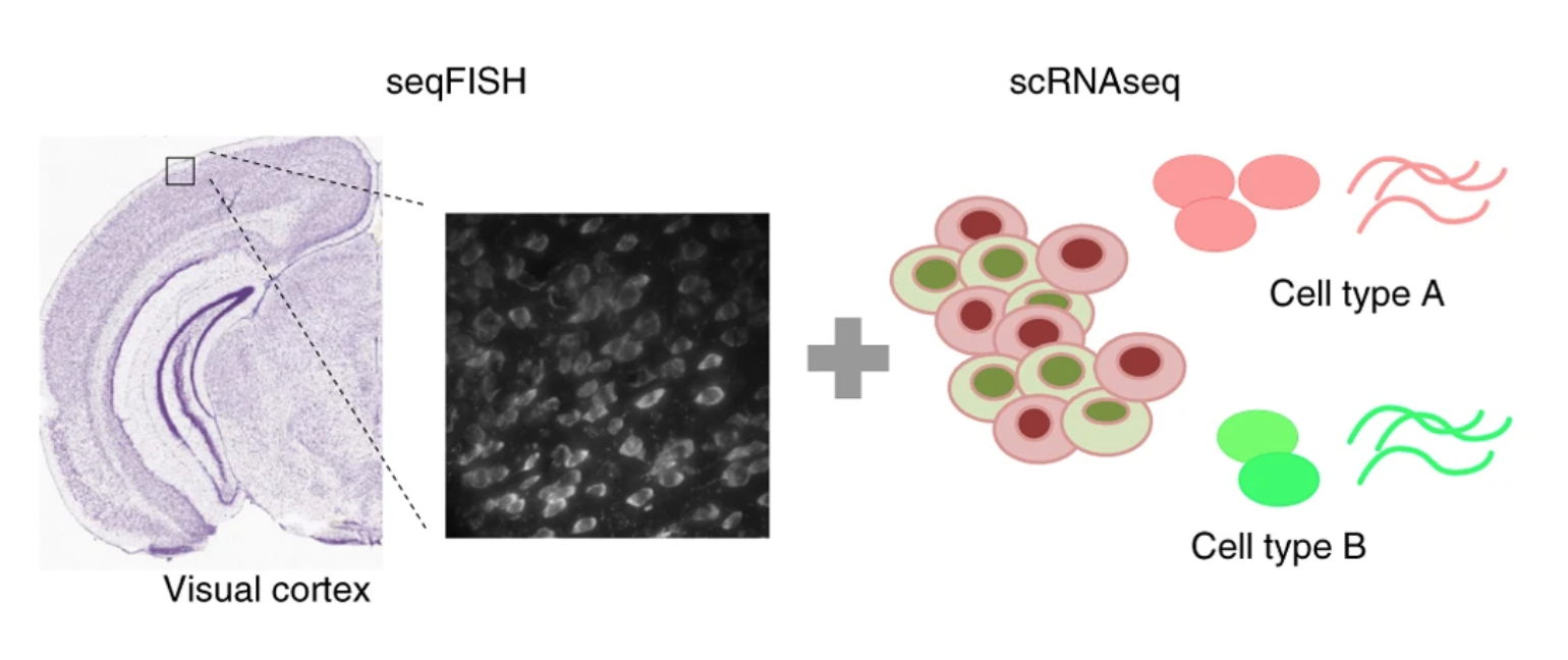 Identification of spatially associated subpopulations by combiningscRNAseq and sequential fluorescence in situ hybridization data